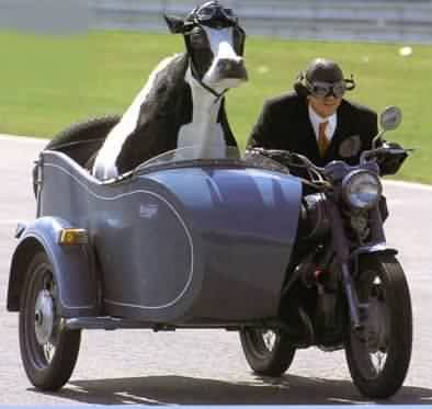 Chirocyclist with sacred cow in sidecar